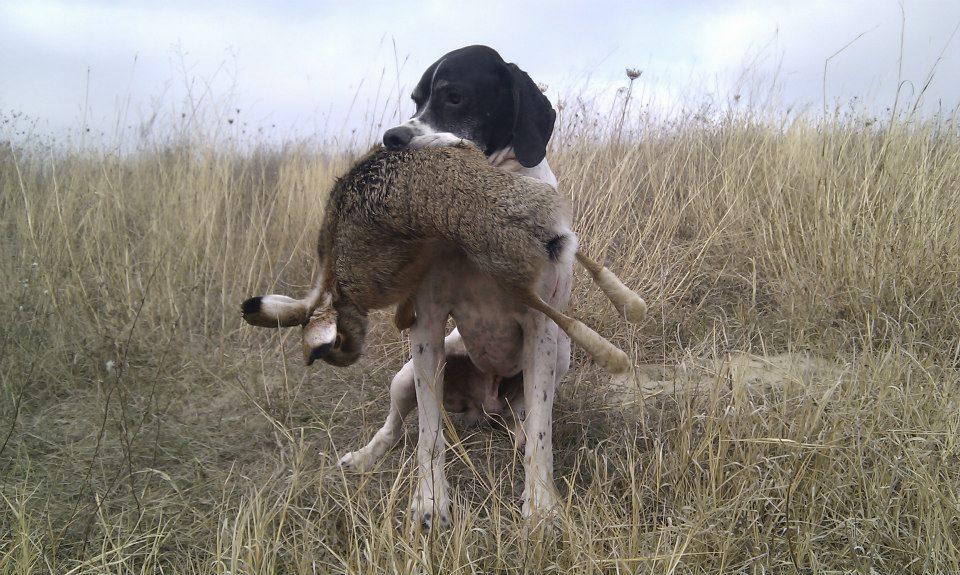 Натаска охотничьей собаки в лесу
