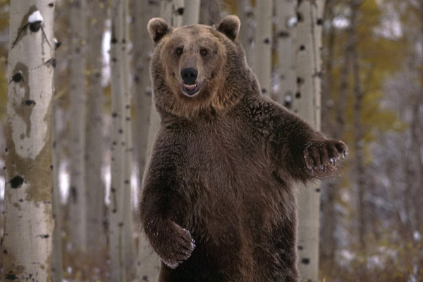Медведь, встреча с медведем, правила при встрече с медведем, нападение медведя, как прогнать медведя, как защититься от медведя, безопасность при встрече с медведм