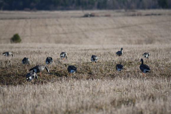 Весенняя охота 2017 в Приморском крае, открытие весенней охоты 2017 в Приморском крае, сроки весенней охоты 2017 в Приморском крае, весенний сезон охоты, открытие весенней охоты 2017 в Приморье, сроки весенней охоты в Приморье 2017, весенняя охота на гуся 2017 в Приморье