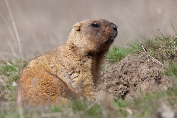 Охоту на сурка ограничивают в Волгоградской области, а на Ямале запретили охоту на северного оленя