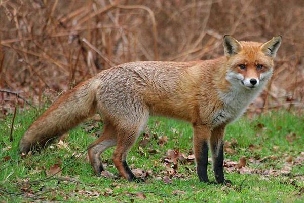 охота, охота на лису, охота на лисицу, охота на лису в Орловской области, охота на лису в Пензенской области, охота на лису в Липецкой области, сезон охоты на лис, сроки охоты на лису