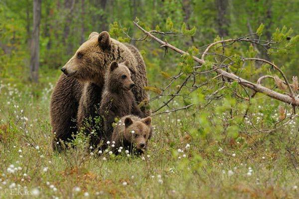 Медведь, встреча с медведем, правила при встрече с медведем, нападение медведя, как прогнать медведя, встреча с медведем на охоте, как защититься от медведя, безопасность при встрече с медведем, Правила поведения при встрече с бурым медведем, Если Вы увидели медведя из окна машины, если неожиданно встретили медведя, если увидели медведя спящим, если медведь ест добычу, встретили группу медведей, нашли медвежонка что делать, если медведь приближается, если медведь нападает, как спастить от медведя