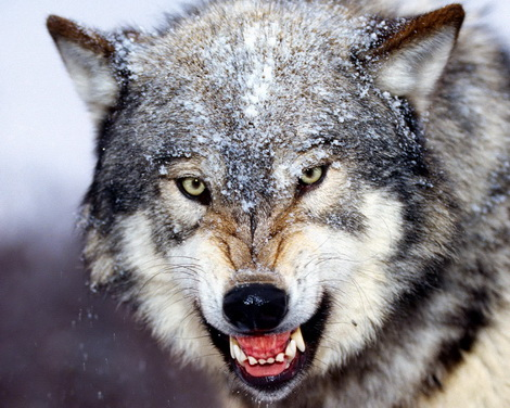 жители Урала объявляют войну волкам