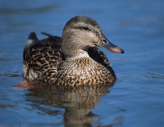 смотреть видео охота на уток осенью в нсо озеро чаны