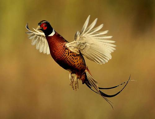 Загонная охота на фазана в Уэльсе