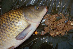 Прикормка рыбы: приготовление прикормки и ошибки прикармливания