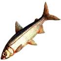 ПЕРЕСЛАВСКАЯ РЯПУШКА Coregonus albula (подвид pereslavicus)