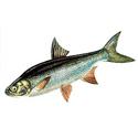 Жерех, рыбалка, трофеи