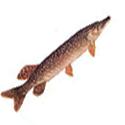 Щука, рыбалка, трофеи