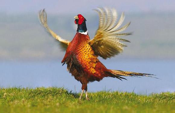 Загонная охота на фазана