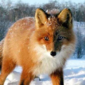 Календарь охотника на январь, календарь охотника январь 2017, охота в январе, открытие охоты в январе, закрытие охоты в январе, охота на кабана в январе, на кого охотиться в январе, календарь охотника на январь 2017, охотничий календарь на январь
