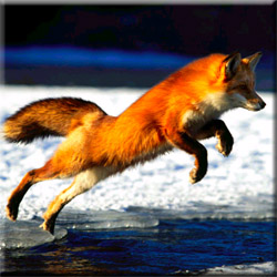 Охота на зайца, лису