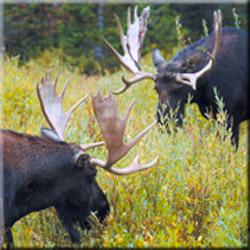 Охота на лося, охота на лося загоном, охота на лося на стону, охота на лося на вабу, охота на лося с подхода