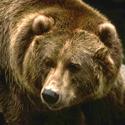 медведь, календарь охотника