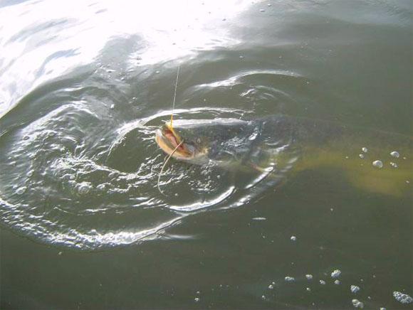 прикормка на сома в русской рыбалке 3