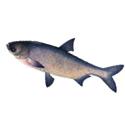 рыбалка, толстолобик, трофеи
