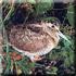 охота на утку, вальдшнепа