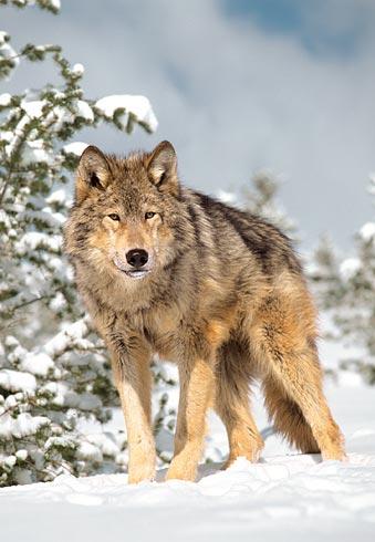 Волк — Canis lupus.
