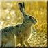 Охота на зайца и лису, охотничьи туры на зайца и лису