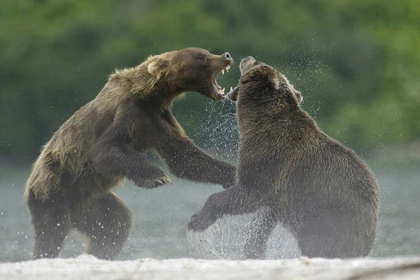Охота на медведя, охота в Томской области на медведя, охота на медведя в Сибири, сроки охоты на медведя, весенняя охота на медведя, летняя осенняя охота на медведя, медвежья охота