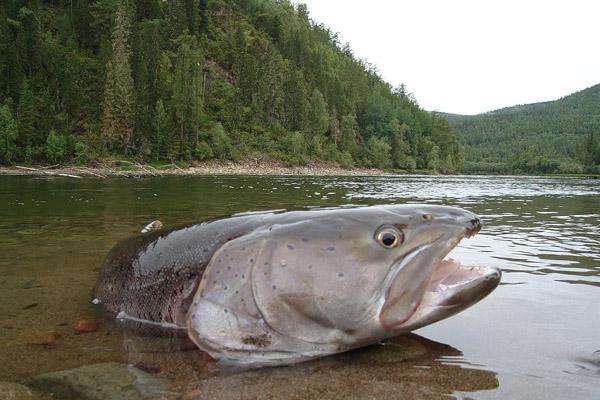 Рыбалка, нерест, нерестовый запрет, штрафы за незаконную рыбалку, наказание за незаконную рыбалку, браконьеры, операция нерест 2013, рыбалка в Башкирии, нерестовый период, период нерестового запрета, сроки нерестового запрета