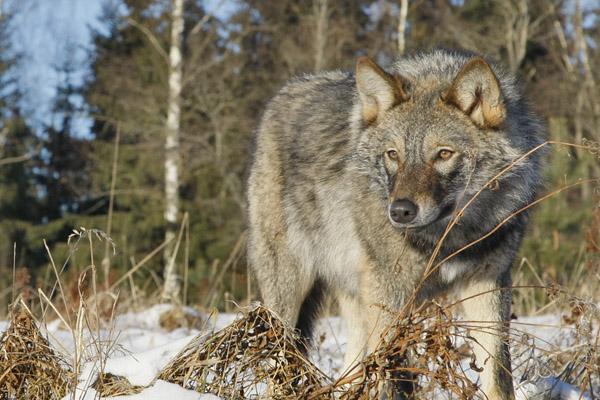 Охота, охота на Алтае, охота на волка на Алтае, охота на медведя на Алтае, охотники на волков, весенняя охота на медведя, охотничье хозяйство, медведи и волки, лицензия на охоту на волка, отстрел волков, лицензия на охоту на медведя