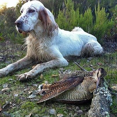 Охота на водно-болотную дичь, охота на красную дичь, что такое красная дичь, охота на вальдшнепа, бекаса, кулика, дупеля, гаршнепа, коростеля