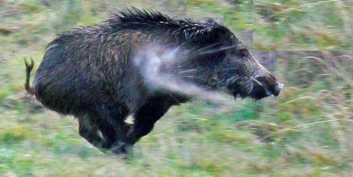 Охота на кабана убойные места попадания