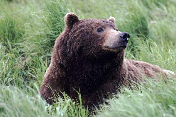 охота на медведя, охота в Тюменской области, разрешение на охоту, сезон охоты 2013, охотничьи ресурсы, охота на медведя в Тюменской области, розыгрыш путевок, жеребьевка разрешений на охоту, заявки от охотников, сезон охоты на медведя