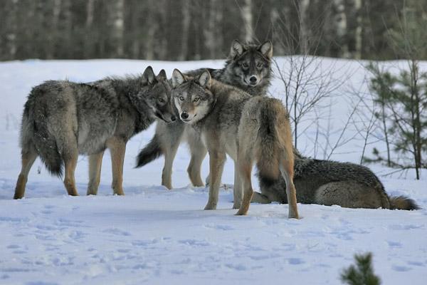 охота в Швеции, охота на волка, охота на рысь, запрет охоты, охота видео, охота 2013, охота бесплатно, бесплатная охота, лучшие охоты, охота и рыбалка,  сезон охоты, охота на гуся, охота в области