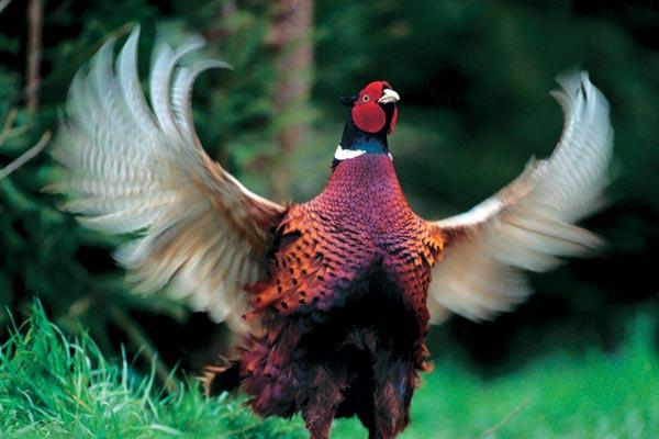 Особенности национальной охоты: Охота на фазанов в Венгрии