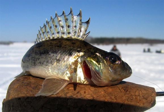 Зимняя рыбалка, ерш