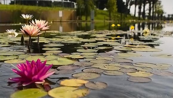 лилия считается показателем улучшающейся экологии на внутренних московских водоемах.