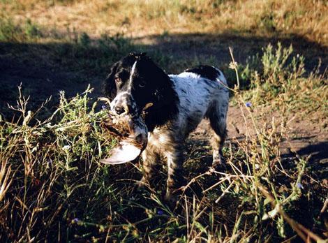 охота на перепелов с собакой