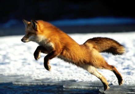Охота на лису с беркутом - Охотникам об Охоте!