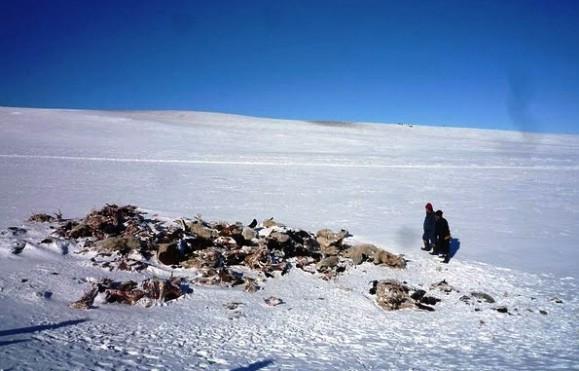 Холодная зима стала причиной гибели миллионов голов скота в Монголии