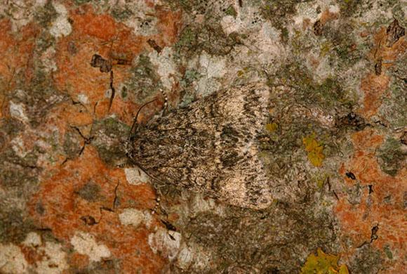 Мотылек замаскировался на коре дерева во Франции