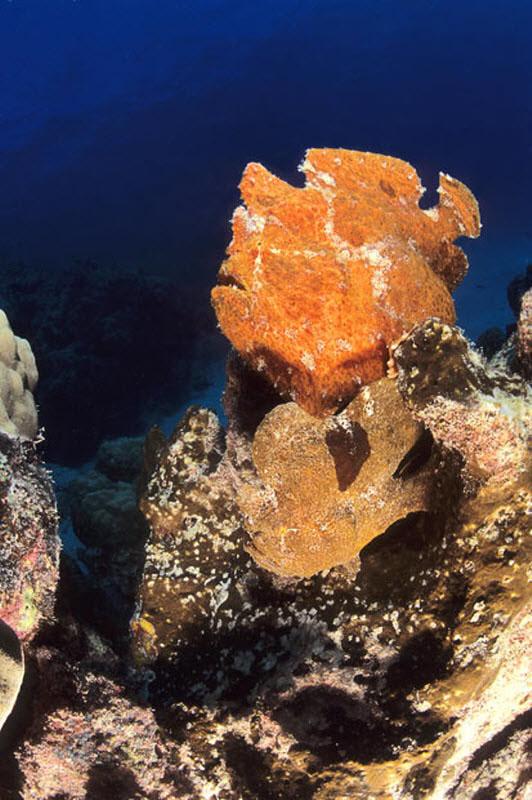 Жабовидная рыба похожа на кусок коралла на скале в Нью-Каледонии