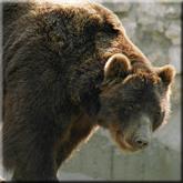 медведь, охота