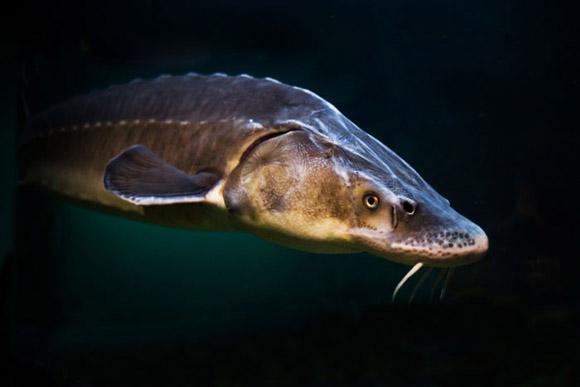 В Новосибирске выращивают деликатесную  рыбу