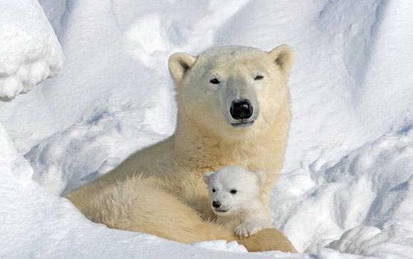 Коренным жителям Чукотки разрешат бодычу  белых медведей
