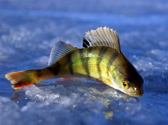 Зимняя рыбалка, окунь