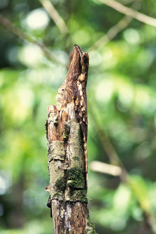 серый козодой сидит на дереве, буквально сливаясь с ним