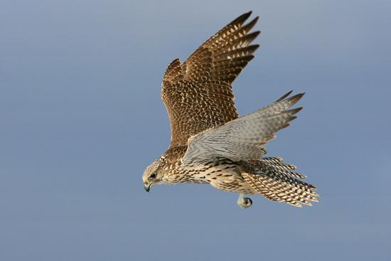 охота, соколиная охота, ловчие птицы, браконьеры, охота с ловчей птицей, сокол, незаконная охота, сокол Хакасия, хищные птицы, ловчие птицы купить, контрабанда ловчих птиц