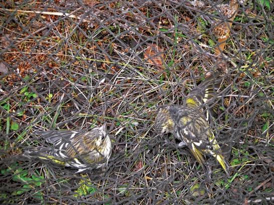 Путанку на зимняя птиц ловля