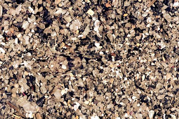Бычок замаскировался на песочном днем моря