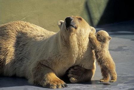 охота на белых медведей