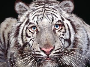 Водителю, сбившему тигрицу в Приморье, грозит штраф 500 тысяч рублей