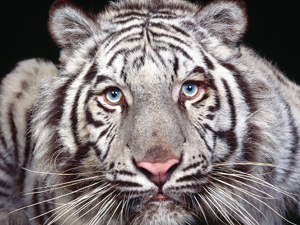 В Уссурийске пытаются спасти сбитую машиной тигрицу