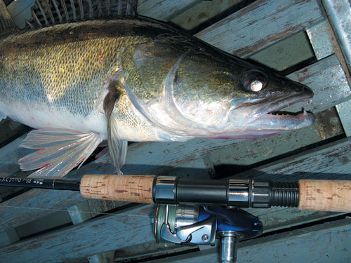 Специалисты из Каспийского НИИ рыбного хозяйства (БИОС) планируют  за 5 лет увеличить уловы судака в Астраханской области в десятки раз.